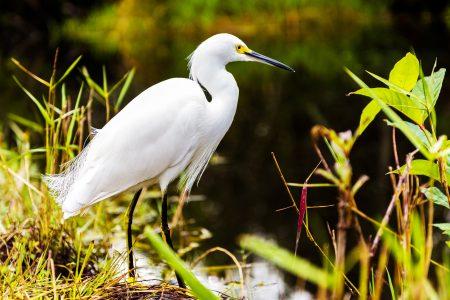 Snowy Egret. Photo Credit: Alex Shutin on Unsplash